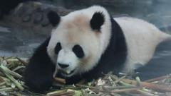 Pandas eat fresh bamboo shoots Stock Footage