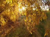 Stock Video Footage of Sunset Through Golden Leaves In Autumn