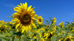 Sunflower blowing in the breeze Stock Footage