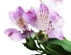 violet flowers alstroemeria - stock photo