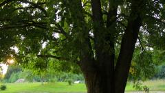 Linden tree in rural landscape in summer Stock Footage