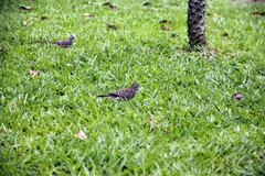 spotted turtle dove walking on green grass looking for food. - stock photo