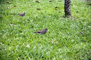 Stock Photo of spotted turtle dove walking on green grass looking for food.