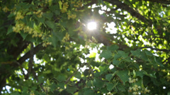 Linden tree blossoms on sunny summer day, sun rays Stock Footage