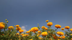 Yellow of Beautiful Marigold Stock Footage