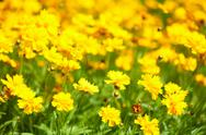 Stock Photo of yellow flowers in the garden shined at sun