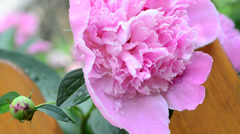 Pink peony with a bud. Medium shot Stock Footage