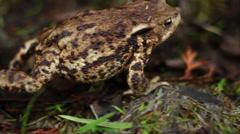 Walking frog Stock Footage