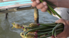 ASIAN NATURE: Close up of baby mangrove shoots in hands and pan away Stock Footage