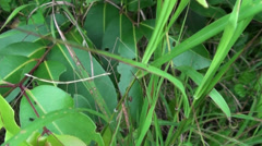 A Stick Insect scurries through the undergrowth Stock Footage
