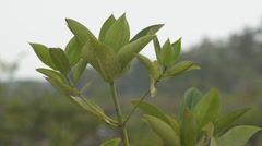 ASIAN NATURE: Head of small mangrove tree sapling in Asia Stock Footage