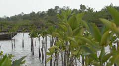 ASIAN NATURE: Telephoto shot through mangrove plants on plantation Stock Footage