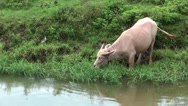 Stock Video Footage of Close-up of an albino Domestic Asian water buffalo