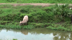 A white Domestic Asian water buffalo Stock Footage
