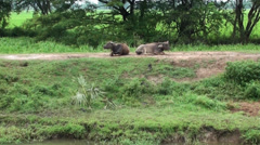 Stock Video Footage of Two young Domestic Asian water buffalo lay on a road and 'chew the cud'
