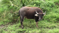 A tethered young Domestic Asian Water Buffalo Stock Footage