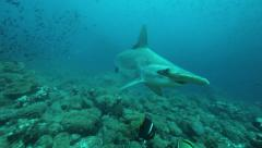 A hammerhead shark passing close to the camera Stock Footage