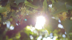Lime tree branches in nature in summer close-up, sun rays Stock Footage