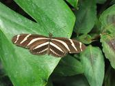 Stock Photo of Heliconius charithonia