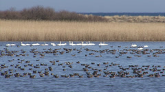 Hundreds geese in the lake. Huge flock of White-fronted geese over the lake. Stock Footage