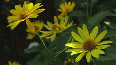 Heliopsis yellow flowers in the garden Stock Footage