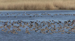 Hundreds geese in the lake. Huge flock of White-fronted geese flying over the la Stock Footage