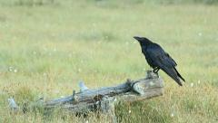 Raven Crow perched on branch flying away at end Stock Footage