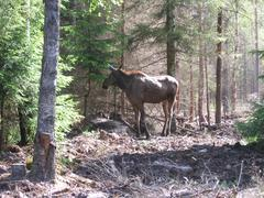 Moose in Drive Inn park in Markaryd in Sweden - stock photo