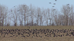 Hundreds geese eating grass in the winter field.  Stock Footage