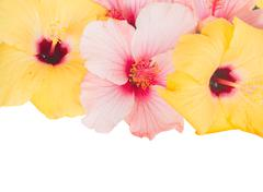 pink and yellow hibiscus flowers - stock photo