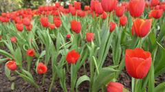 Red spring tulip flowers background Stock Footage