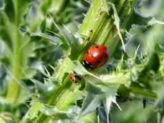 Two ladybirds on a thorny stalk Stock Photos