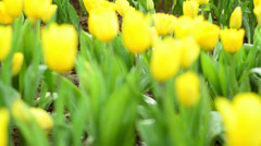 Colorful tulips field with waterdrop Stock Footage