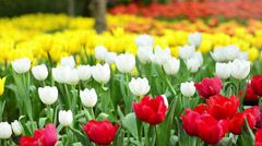 Colorful tulips field Stock Footage