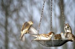 Group Of Sparrows At The Bird Feeder - stock photo