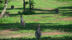 Field of Wallaby's in Mission Beach , Australia - stock footage