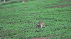 Little Wallaby in Mission Beach , Australia - stock footage
