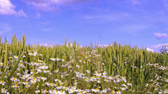 Chamomile on a wheat field. Stock Footage