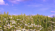 Stock Video Footage of Chamomile on a wheat field.