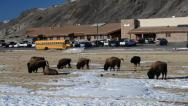 Stock Video Footage of Wild Buffalo roaming in the middle of the city of Yellowstone
