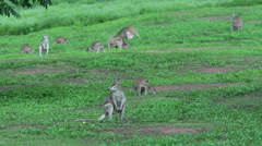 A big group of Wallabies  eating grass in Mission Beach , Australia Stock Footage