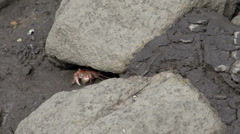 Little red crab under a rock Stock Footage