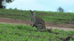 wallaby with baby in here pouch in Mission Beach Queensland, Australia. - stock footage
