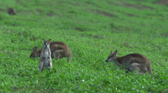 Group of Wallabies on a grass field in Mission Beach Queensland, Australia. - stock footage