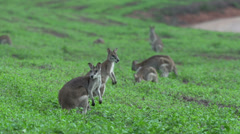 Group of Wallabies on a grass field with a wallaby jumping to an other Stock Footage