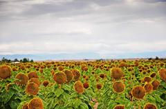Mature Sunflowers Almost Ready For Harvest Stock Photos
