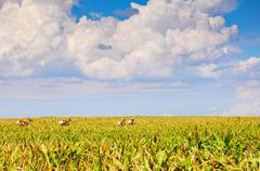 Wild Pronghorn In A Sorghum Field - stock photo