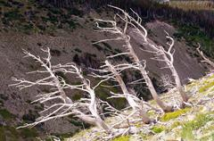 Bleached tree trunks on a mountain slope Stock Photos