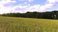 Poppys on a field of green wheat. Stock Footage