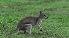 Wallaby jumping away in slow motion - stock footage